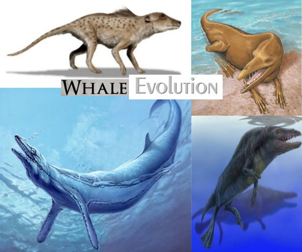 the evolution of whales