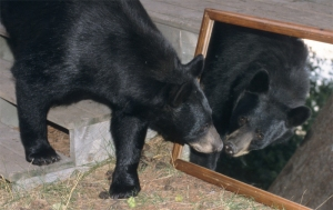 Bear in mirror